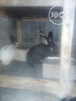 Cute Rabbits   Livestock & Poultry for sale in Lagos State, Surulere