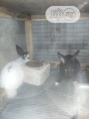 Cute Rabbits | Livestock & Poultry for sale in Lagos State, Surulere