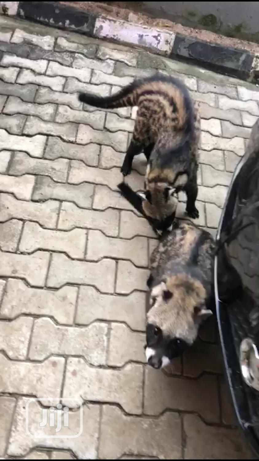 Young Male Purebred | Cats & Kittens for sale in Lekki Phase 1, Lagos State, Nigeria