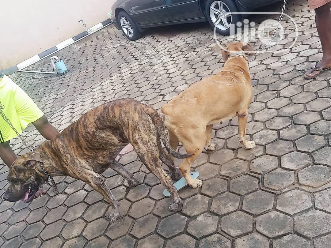 Adult Male Purebred Boerboel | Dogs & Puppies for sale in Ibadan, Oyo State, Nigeria