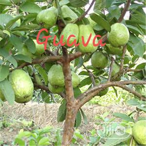 Improved Hybrid Guava Seedling For Sale   Feeds, Supplements & Seeds for sale in Oyo State, Ibadan