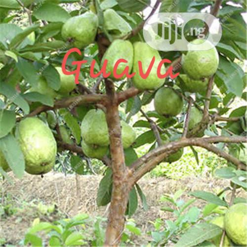 Improved Hybrid Guava Seedling For Sale