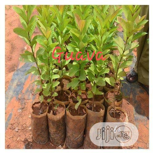 Improved Hybrid Guava Seedling For Sale   Feeds, Supplements & Seeds for sale in Ibadan, Oyo State, Nigeria