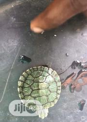 Red Ear Slider Turtle | Reptiles for sale in Lagos State, Surulere