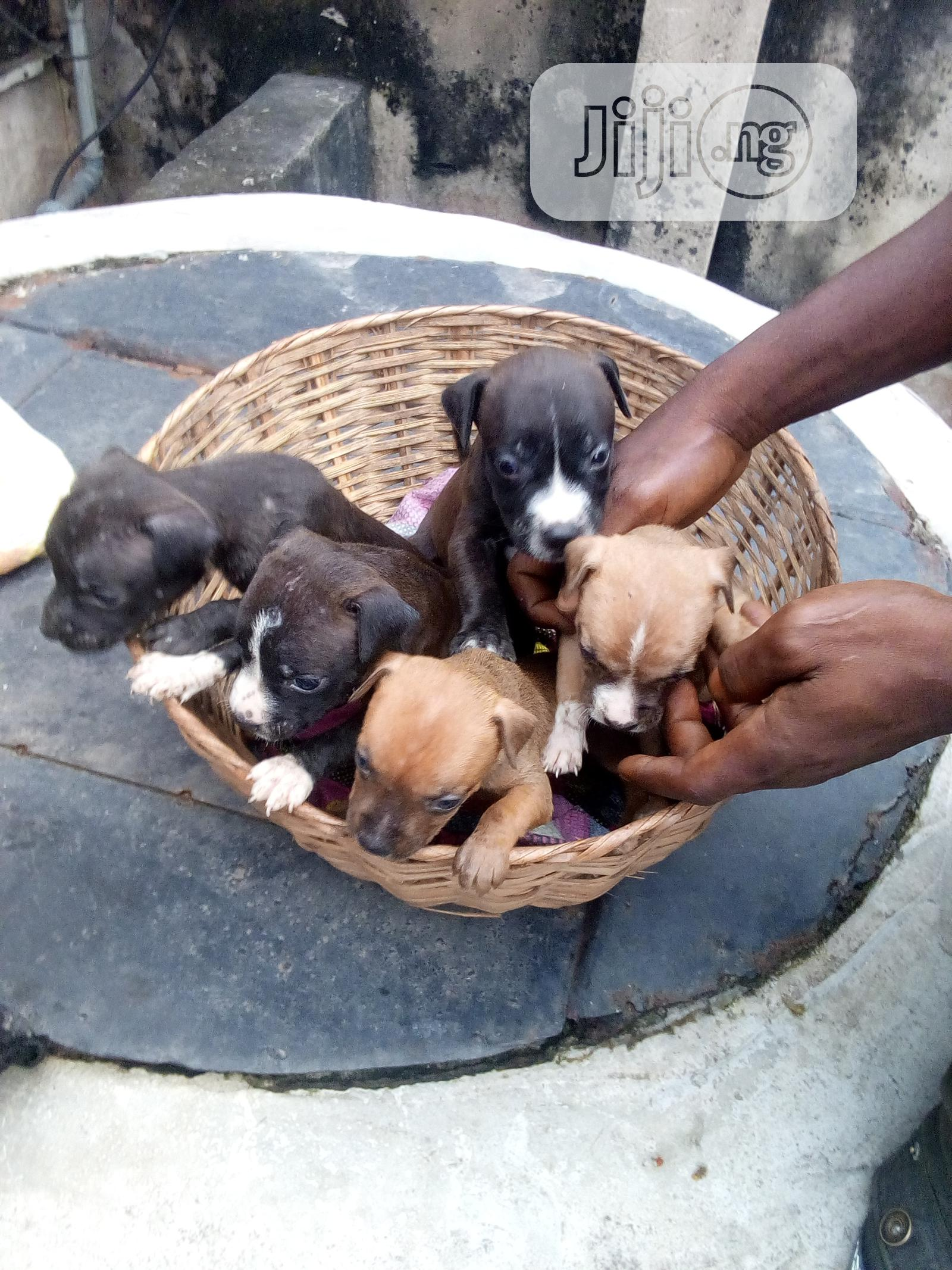 1-3 Month Male Purebred American Pit Bull Terrier | Dogs & Puppies for sale in Ikorodu, Lagos State, Nigeria