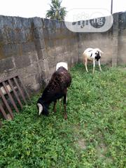 December Ram For The Festive Season | Livestock & Poultry for sale in Lagos State, Ikeja