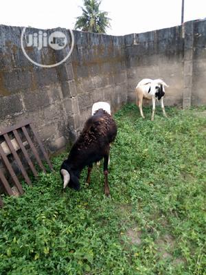 December Ram For The Festive Season   Livestock & Poultry for sale in Lagos State, Ikeja