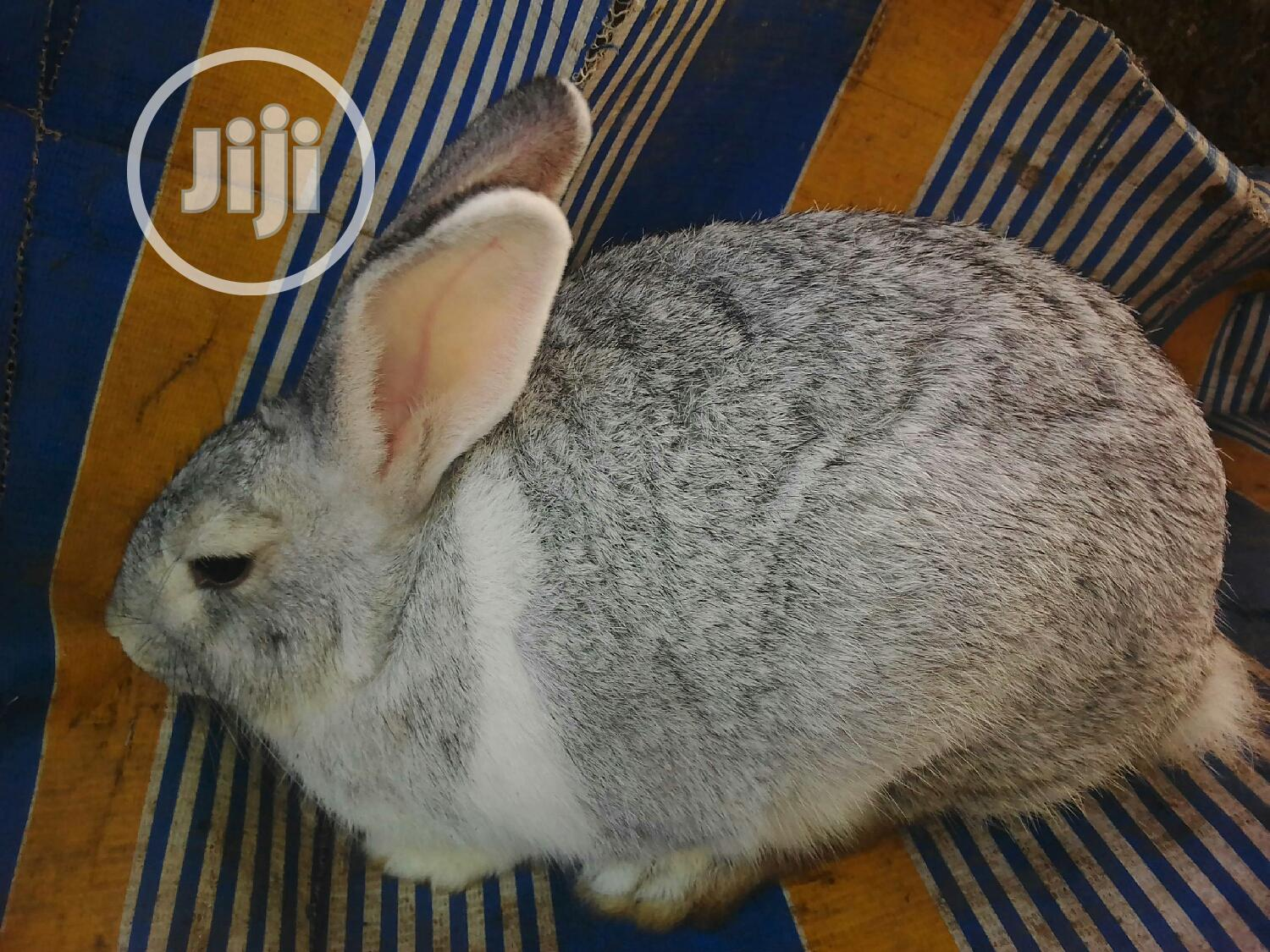 GOE Animals-young Rabbits For Sale | Livestock & Poultry for sale in Akure, Ondo State, Nigeria