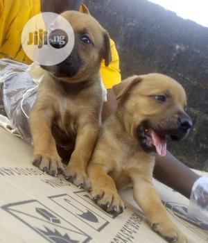 Baby Female Purebred Boerboel | Dogs & Puppies for sale in Ogun State, Sagamu