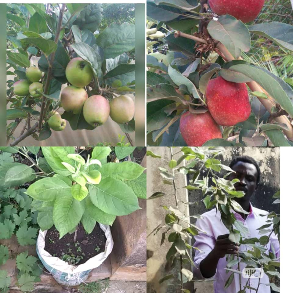 Apple Fruits And Seedlings | Meals & Drinks for sale in Ikeja, Lagos State, Nigeria