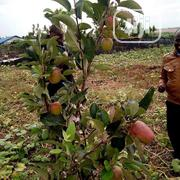 Apple Fruits And Seedlings | Feeds, Supplements & Seeds for sale in Lagos State, Ikeja