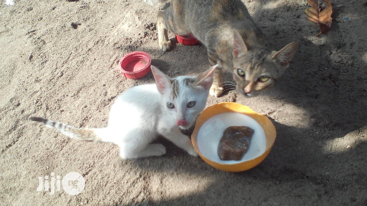 Young Female Purebred Mongrel (No Breed) | Cats & Kittens for sale in Ojo, Lagos State, Nigeria