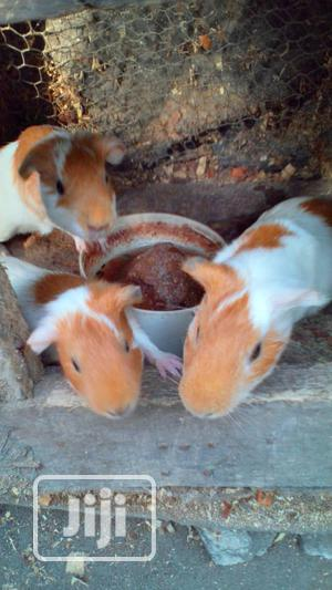 Mature Healthy Guinea Pigs Available For Sale | Livestock & Poultry for sale in Lagos State, Ojo