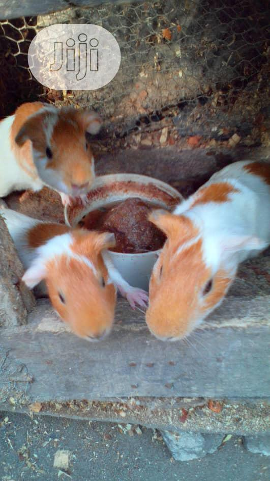 Mature Healthy Guinea Pigs Available For Sale