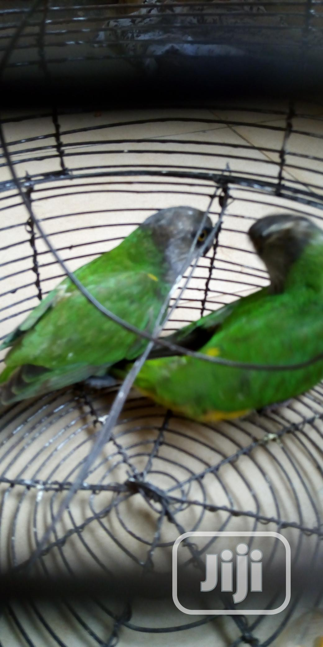 Male & Female Parrot | Birds for sale in Alimosho, Lagos State, Nigeria