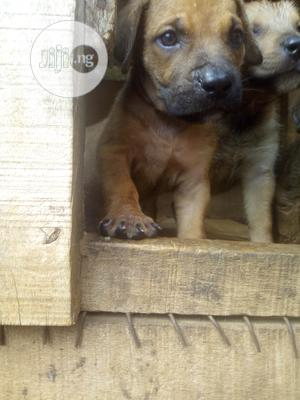 1-3 Month Female Purebred Boerboel   Dogs & Puppies for sale in Oyo State, Ibadan