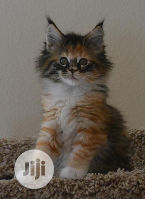 Archive: Young Female Purebred Maine Coon