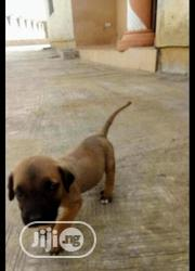 Baby Female Purebred Boerboel | Dogs & Puppies for sale in Oyo State, Ori Ire