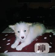 Baby Female Purebred Samoyed | Dogs & Puppies for sale in Oyo State, Orelope