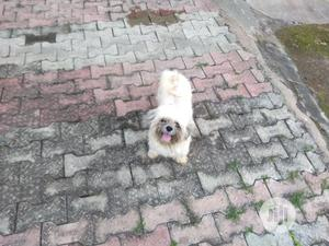 Adult Male Lhasa Apso For Stud/Mating Service   Pet Services for sale in Oyo State, Ibadan