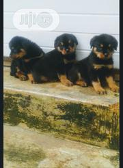 Baby Female Purebred Rottweiler | Dogs & Puppies for sale in Oyo State, Ori Ire