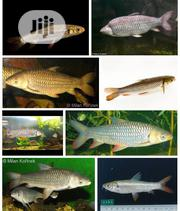 Cigar Shark Fish | Livestock & Poultry for sale in Lagos State, Surulere