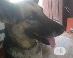 1-3 Month Female Purebred German Shepherd | Dogs & Puppies for sale in Edo State, Benin City