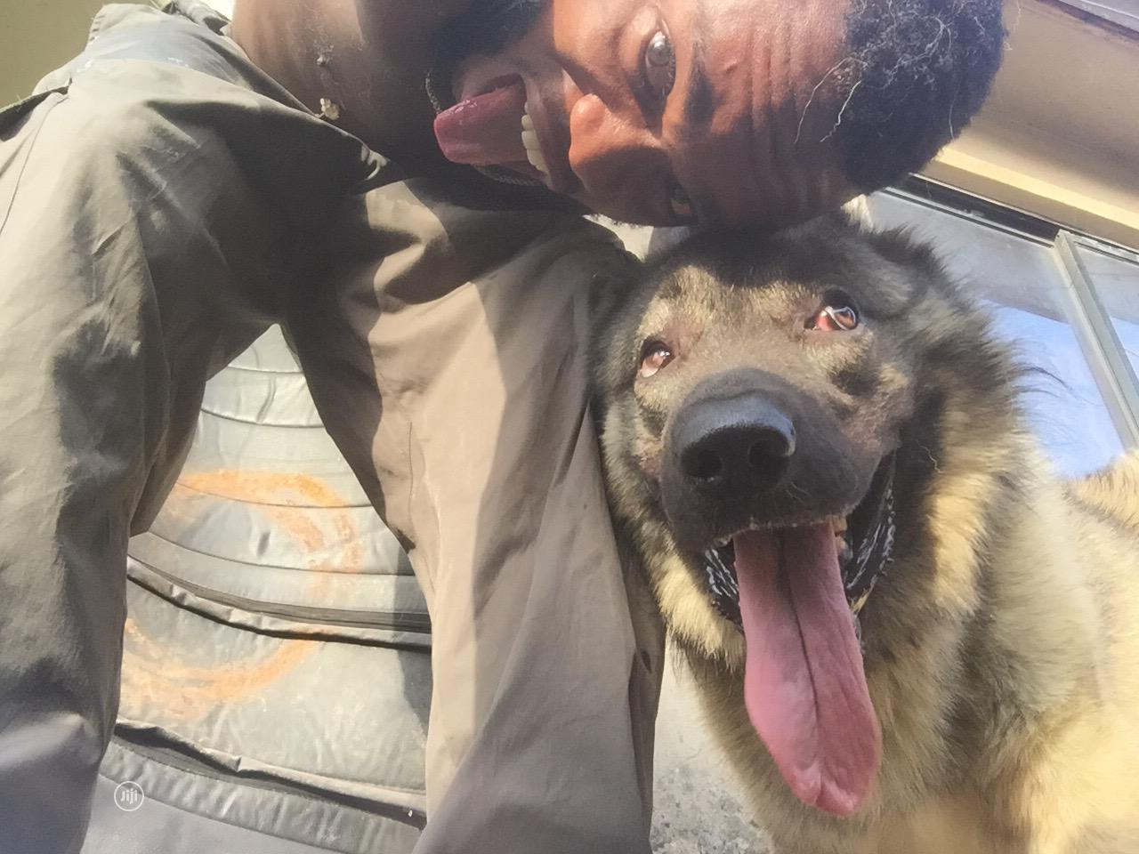 Adult Male Purebred Caucasian Shepherd | Dogs & Puppies for sale in Ikeja, Lagos State, Nigeria