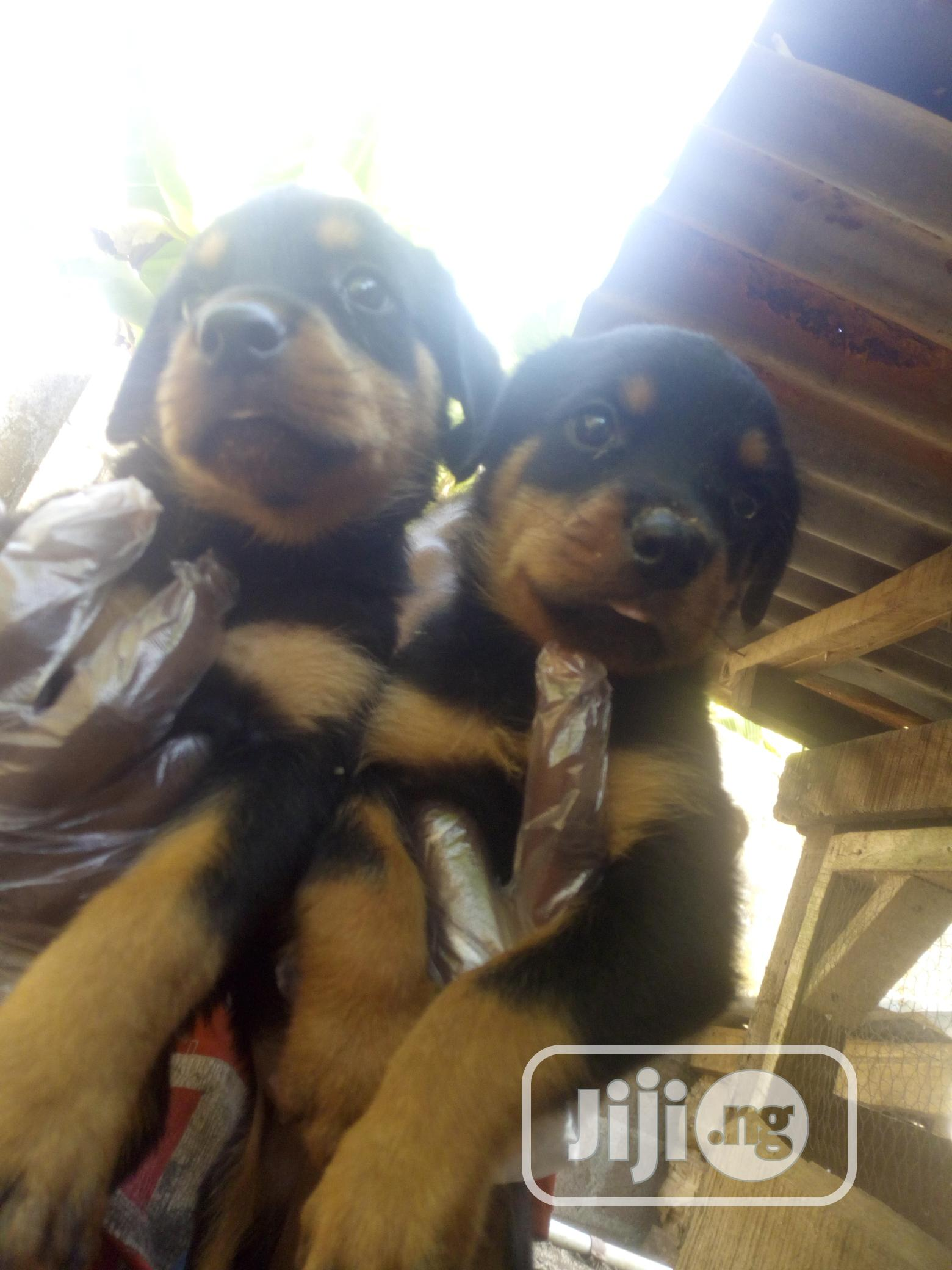 Young Male Purebred Rottweiler   Dogs & Puppies for sale in Ijebu Ode, Ogun State, Nigeria