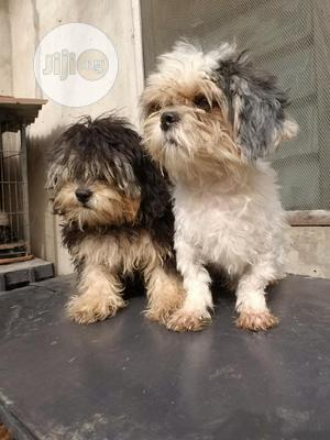 Adult Male Purebred Lhasa Apso   Dogs & Puppies for sale in Lagos State