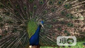 Peacocks Sales | Birds for sale in Abuja (FCT) State, Garki 2