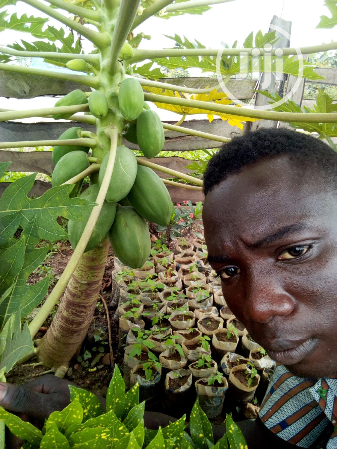 Dwarf Pawpaw Seeds And Seedlings For Sale