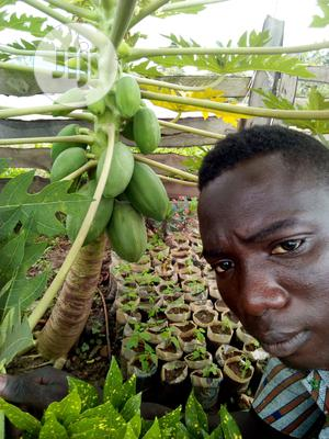 Dwarf Pawpaw Seeds And Seedlings For Sale | Feeds, Supplements & Seeds for sale in Oyo State, Ona-Ara
