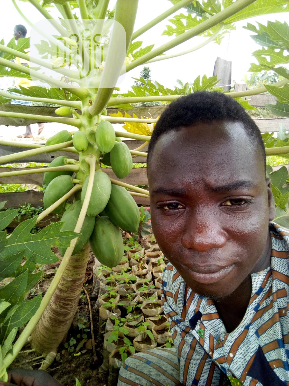 Dwarf Pawpaw Seeds And Seedlings For Sale   Feeds, Supplements & Seeds for sale in Ona-Ara, Oyo State, Nigeria