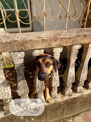 Adult Female Purebred Rottweiler | Dogs & Puppies for sale in Abia State, Umuahia