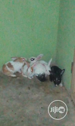 Well Healthy Rabbits Is Available For Sale   Livestock & Poultry for sale in Lagos State, Ojo