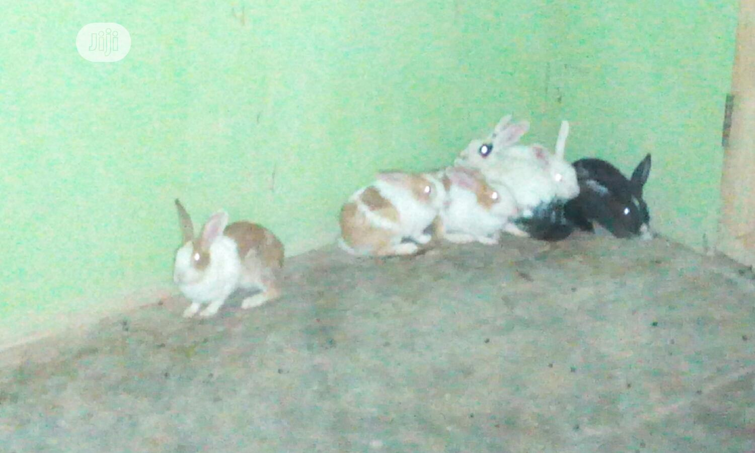 Well Healthy Rabbits Is Available For Sale | Livestock & Poultry for sale in Ojo, Lagos State, Nigeria