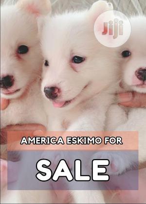 1-3 Month Female Purebred American Eskimo   Dogs & Puppies for sale in Lagos State, Shomolu