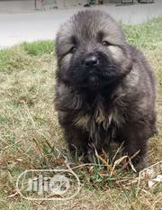 Baby Female Purebred Caucasian Shepherd Dog | Dogs & Puppies for sale in Rivers State, Port-Harcourt