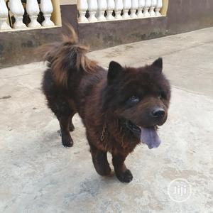 Adult Male Purebred Chow Chow   Dogs & Puppies for sale in Lagos State, Gbagada
