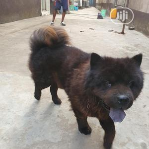 Black Chow Chow For Stud Service | Pet Services for sale in Lagos State, Isolo