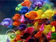 Parrot Fish For Aquarium XL | Fish for sale in Rivers State, Obio-Akpor