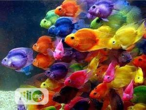 Parrot Fish For Aquarium XL   Fish for sale in Rivers State, Obio-Akpor