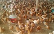 Amazing Grace Agro | Livestock & Poultry for sale in Enugu State, Isi-Uzo