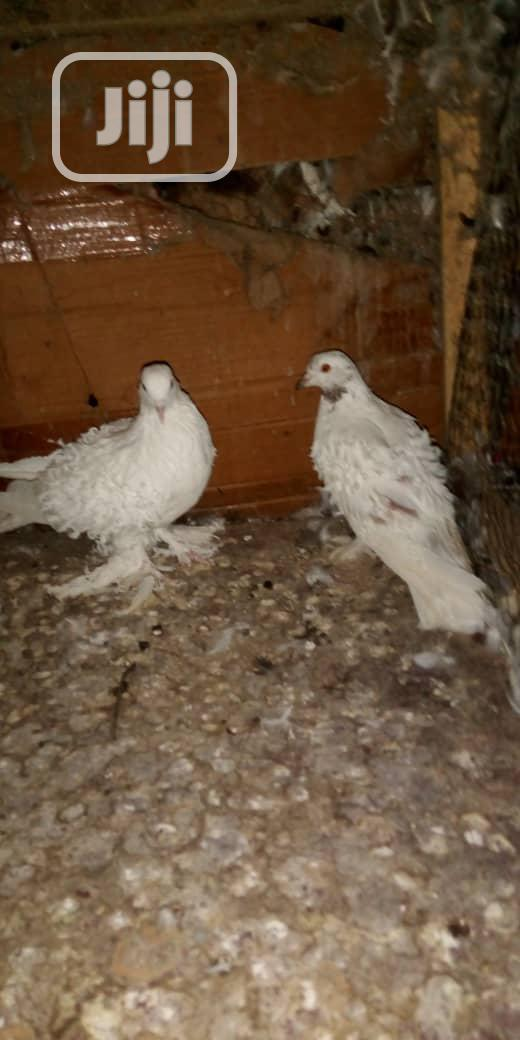 Different Kinds Of Pigeons Are Available For Sale | Birds for sale in Ojo, Lagos State, Nigeria