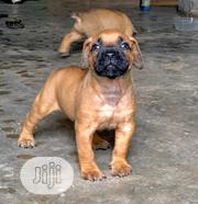 Baby Female Purebred Bullmastiff | Dogs & Puppies for sale in Plateau State, Kanam