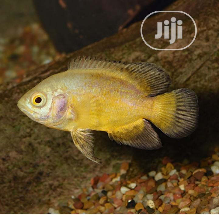 Oscar Aquarium Fish For Sale