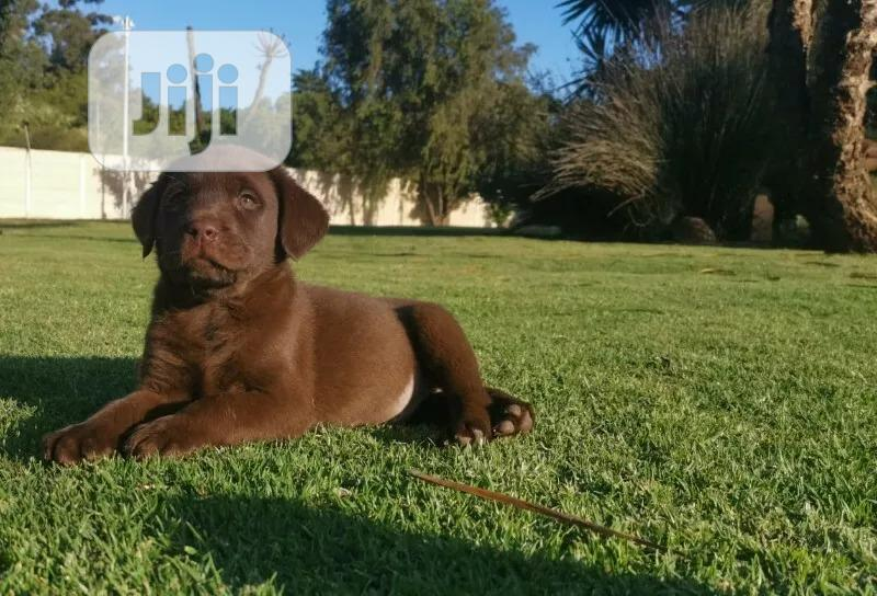 Young Male Purebred Labrador Retriever | Dogs & Puppies for sale in Isolo, Lagos State, Nigeria