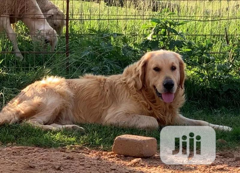 Young Male Purebred Golden Retriever | Dogs & Puppies for sale in Isolo, Lagos State, Nigeria