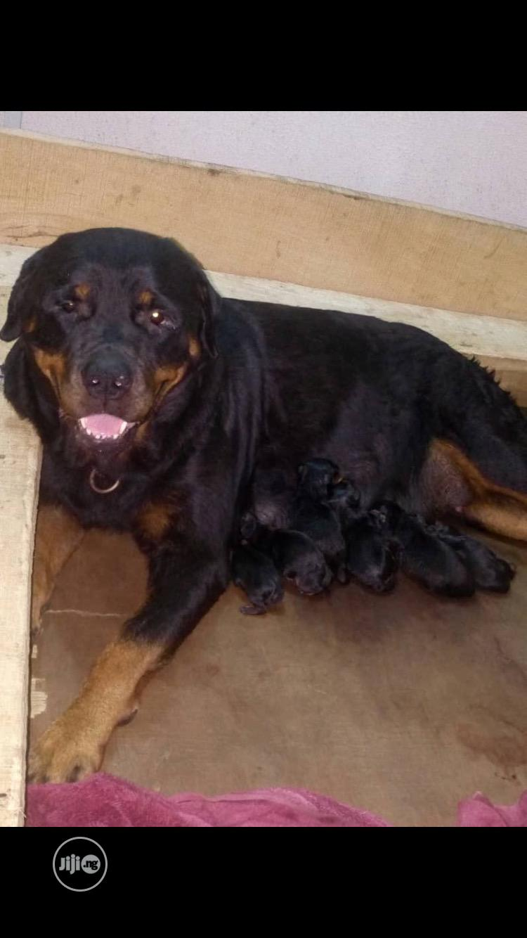 Young Female Purebred Rottweiler   Dogs & Puppies for sale in Lagos Island (Eko), Lagos State, Nigeria